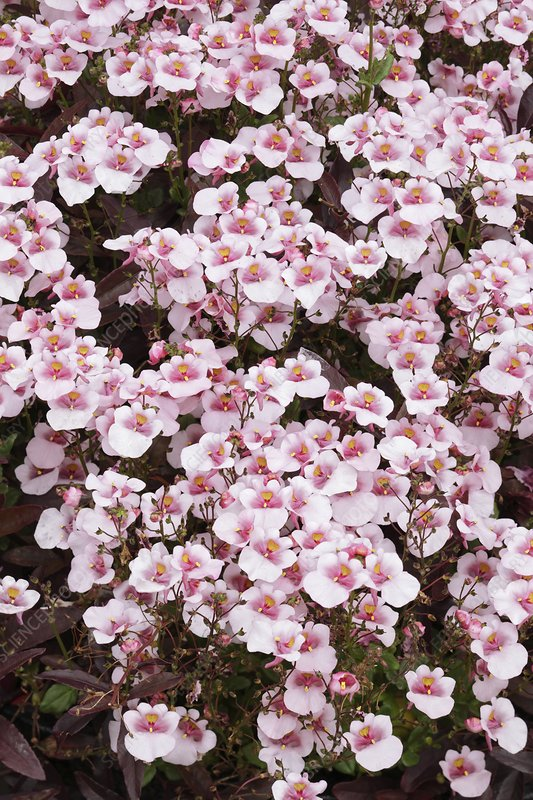 Diascia 'Juliet Pink With Eye'