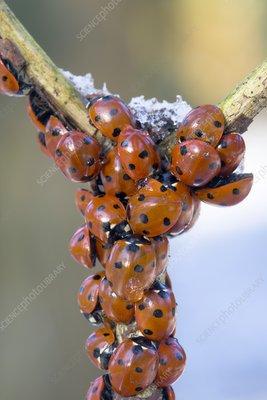 Hibernating ladybirds
