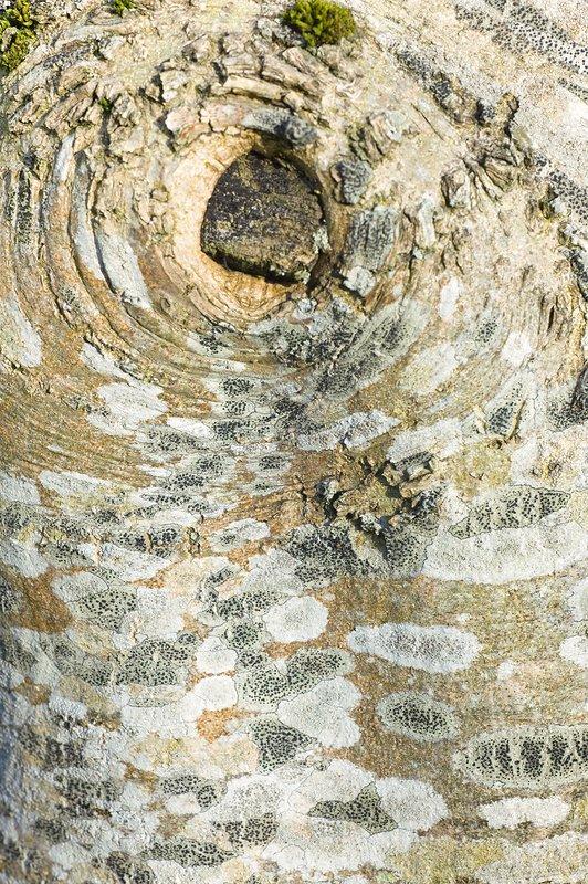 Lichen on ash bark