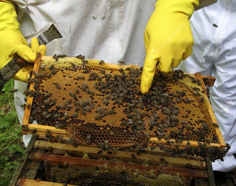 Beekeeper and brood comb