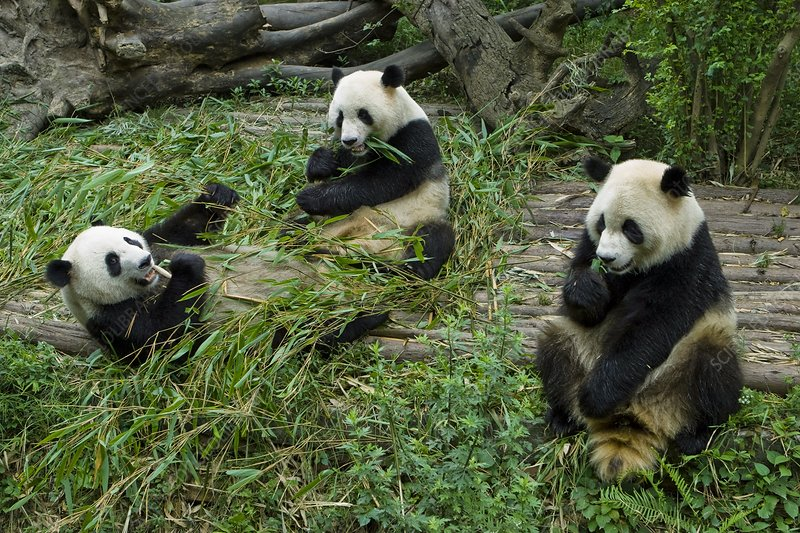 Giant pandas eating bamboo, China