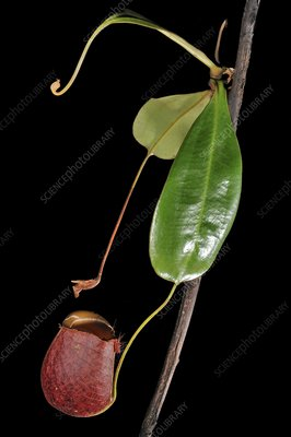 Fanged pitcher plant
