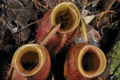Flask-shaped pitcher plant