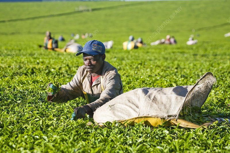 Tea plantation, Kenya