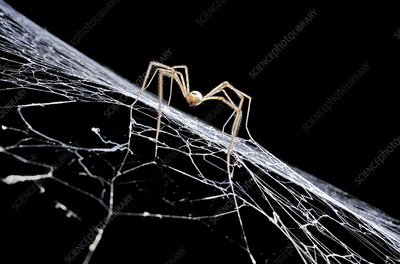 Cave spider on web
