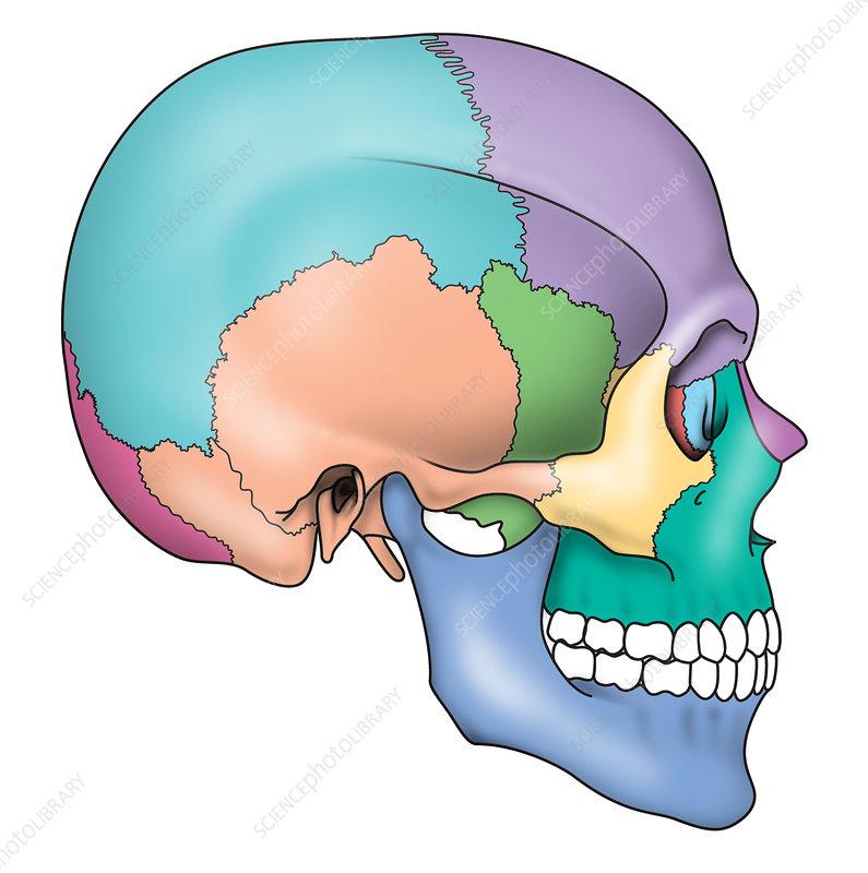 Skull regions and bones, artwork