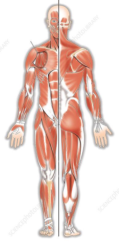 Human musculature, artwork