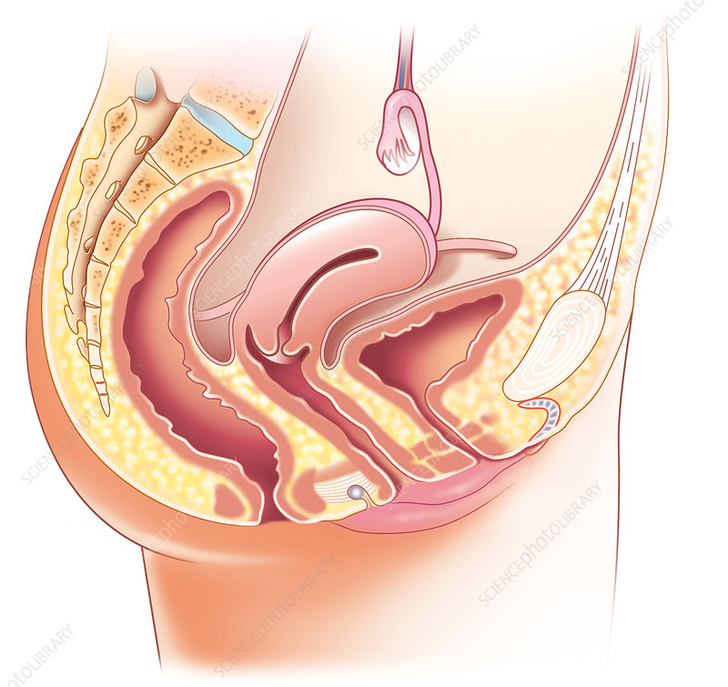 Female pelvic anatomy, artwork - Stock Image C010/7098 - Science ...