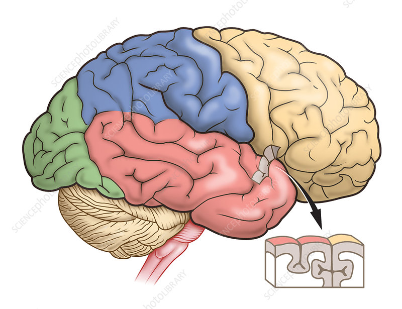 Brain lobes and anatomy, artwork
