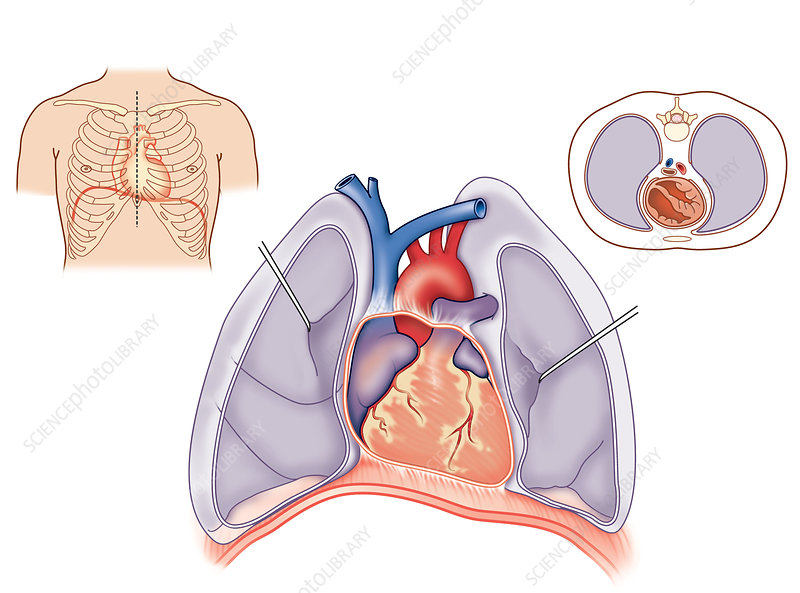 Heart and lung anatomy, artwork