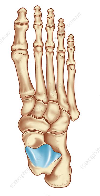 Bones of the foot, artwork