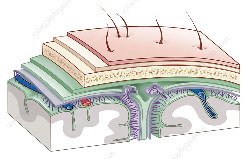 Brain membrane anatomy, artwork