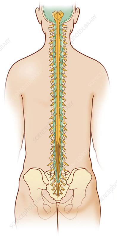 Spinal cord anatomy, artwork