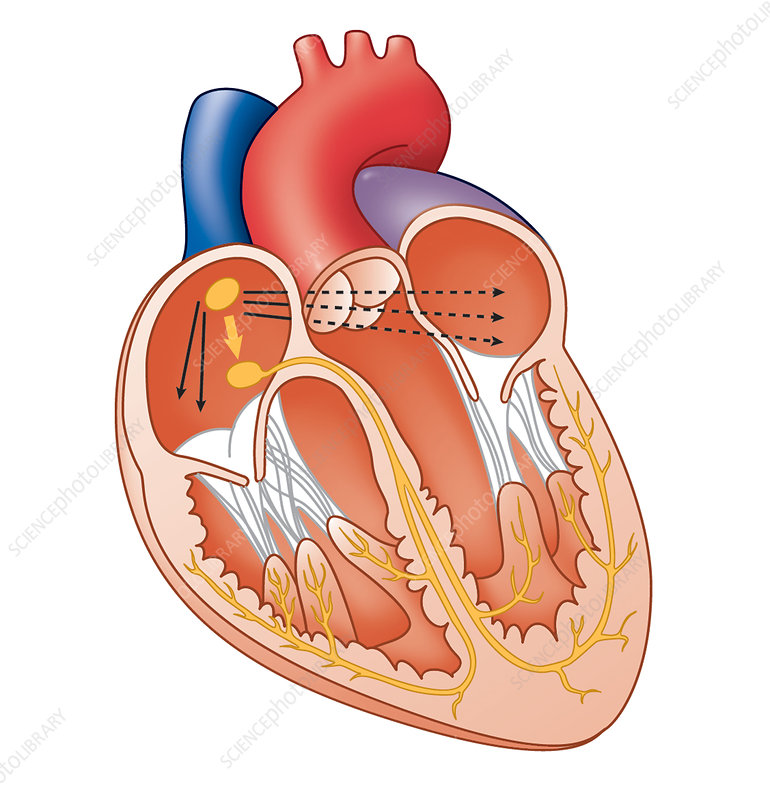 Heart conduction system, artwork