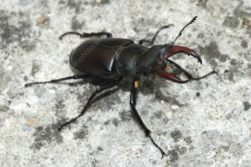 European stage beetle