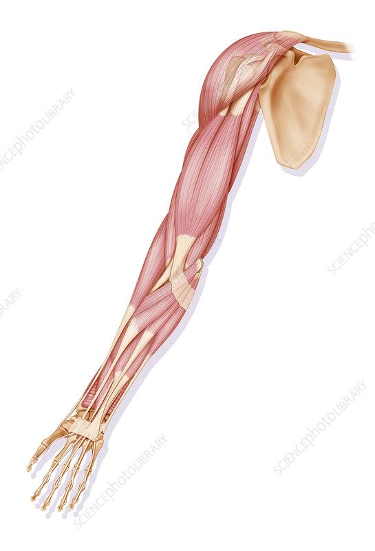 Arm muscle anatomy, artwork