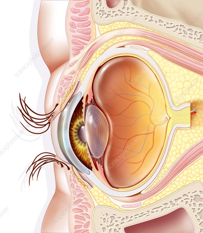 Eye anatomy, artwork