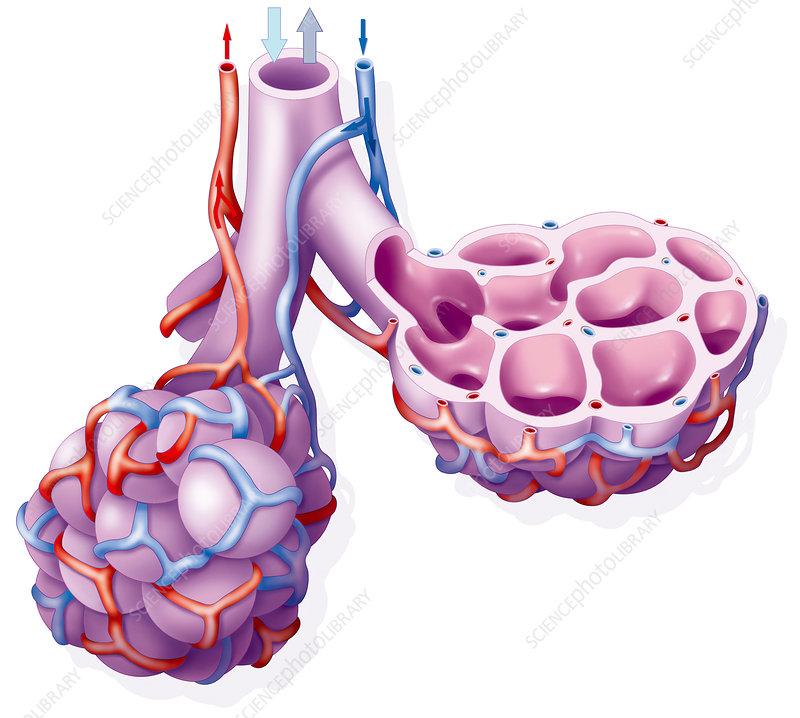 Lung alveoli anatomy, artwork