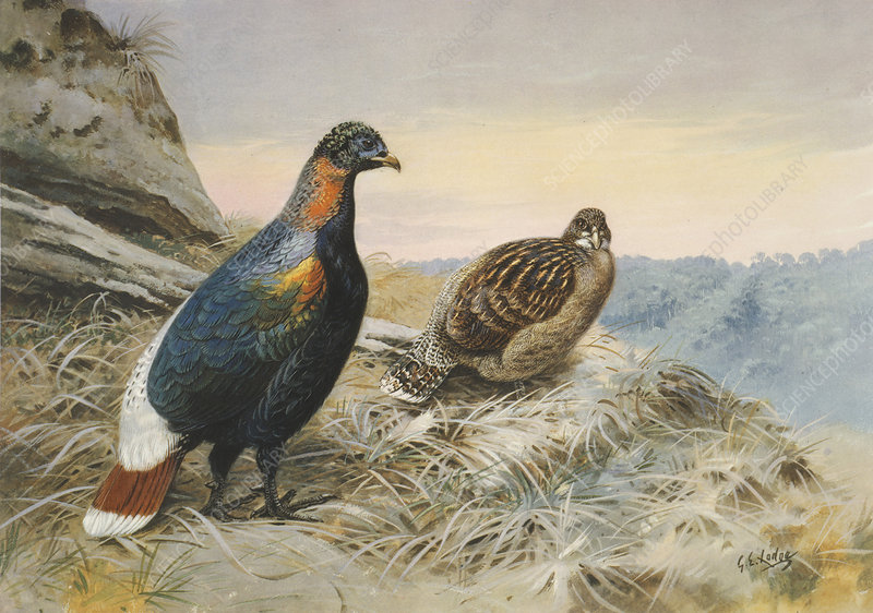 Scalter's monal pheasant, artwork