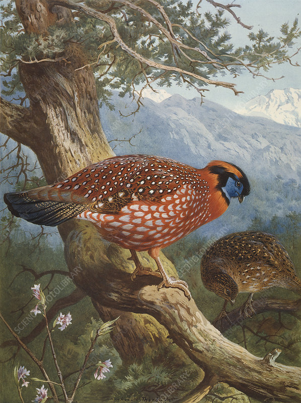 Temminck's tragopan, artwork