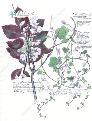 Cymbalaria muralis and Prunus, artwork