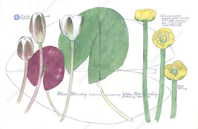 Water lilies (Lilum sp.), artwork