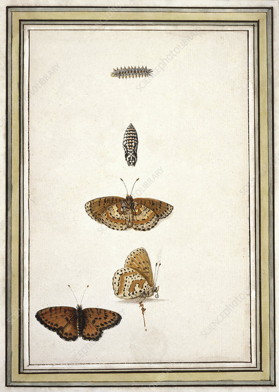 Butterfly lifecycle, artwork