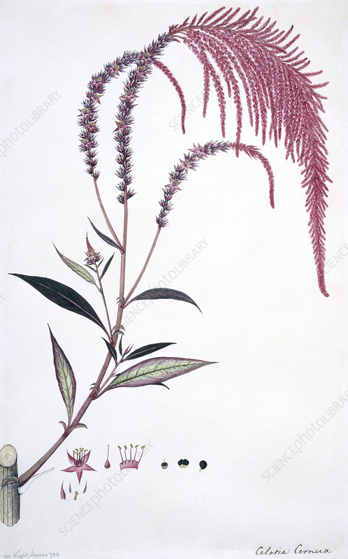 Cockscomb (Celosia cernua), artwork
