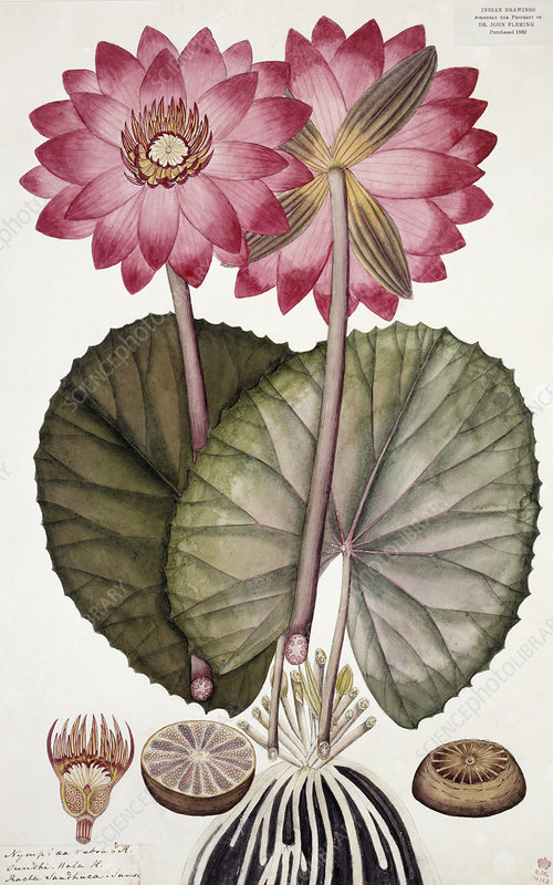 Red Indian water lily (Nymphaea rubra)
