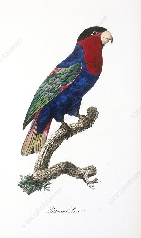 Black-capped lory, artwork