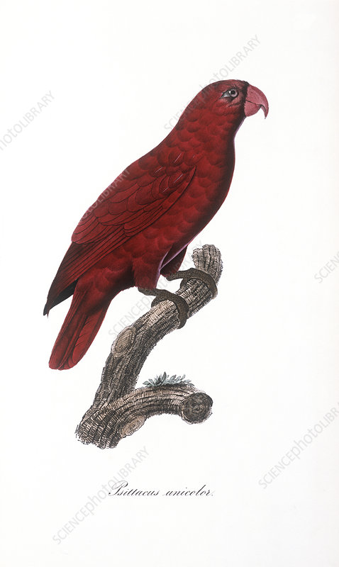 Red lory, artwork