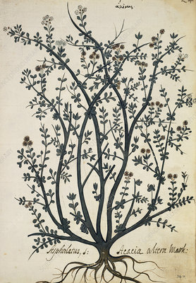 Acacia sp., artwork