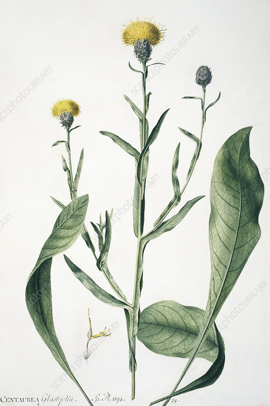 Centaurea glastifolia, artwork