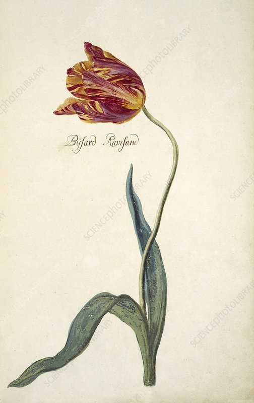 Tulip (Tulipa sp.), artwork