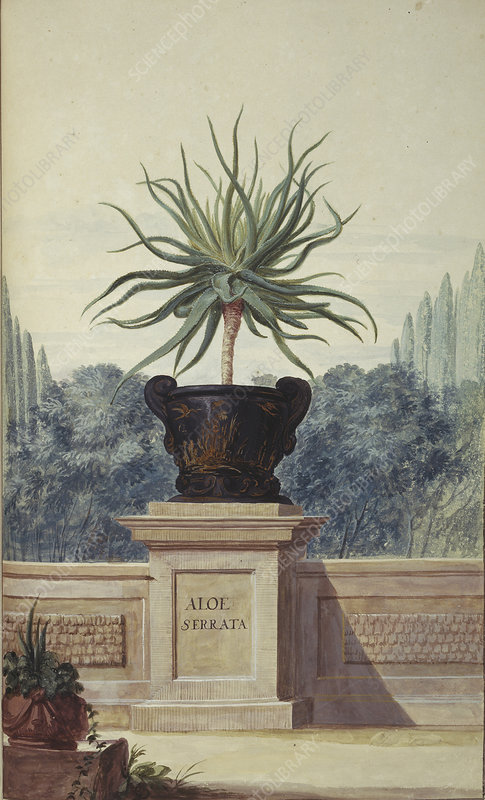 Aloe serrata, artwork