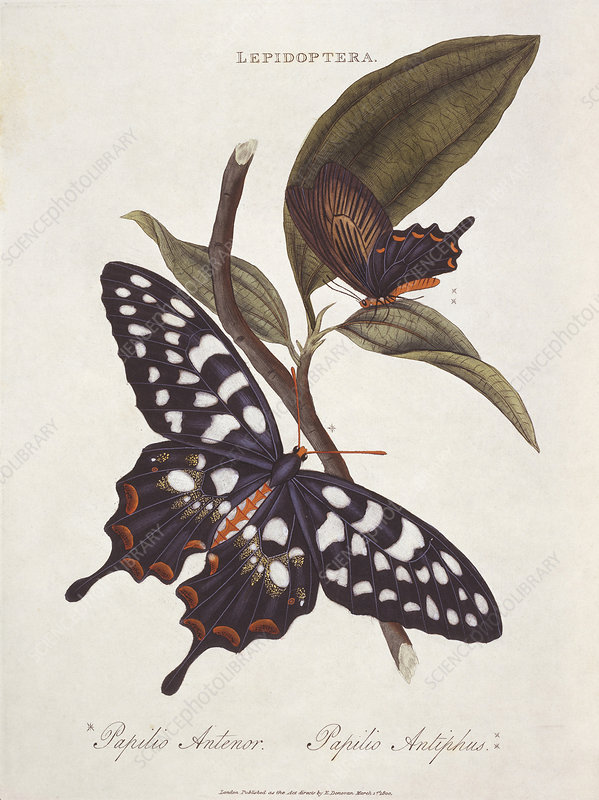 Giant swallowtail butterfly, artwork
