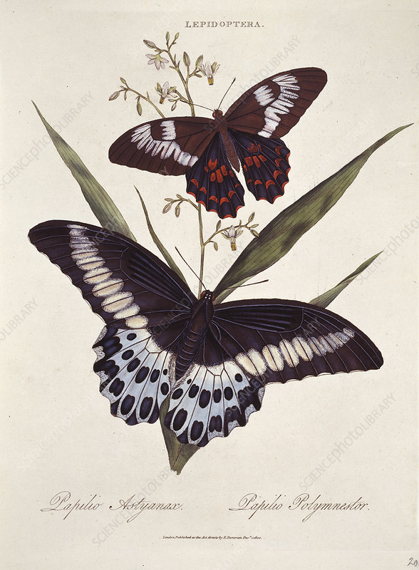 Common and blue mormon butterflies
