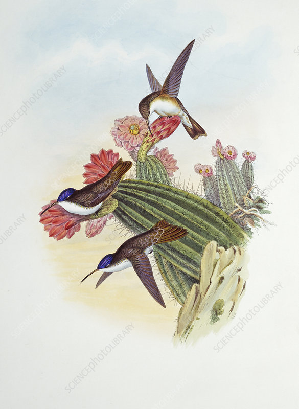 Violet-crowned hummingbirds, artwork