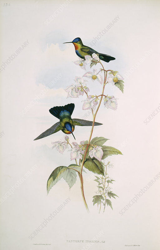 Fiery-throated hummingbirds, artwork