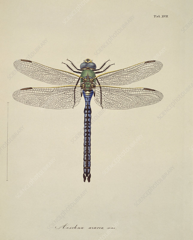 Dragonflies, artwork
