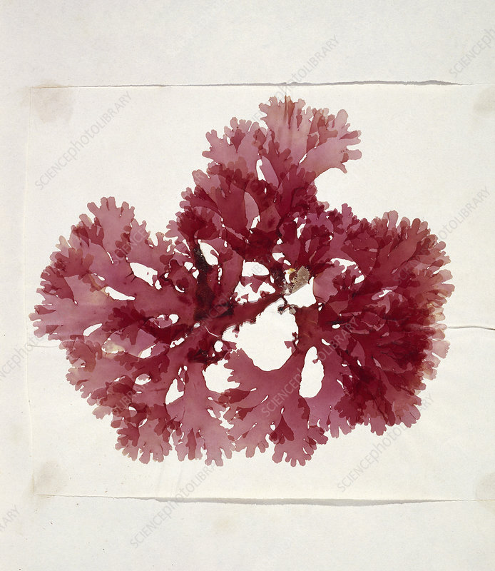 Dried red alga (Thodomenia lacineata)