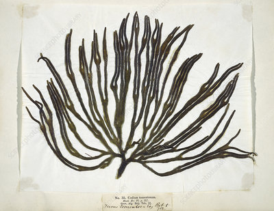 Dried seaweed (Codium tomemtosus)