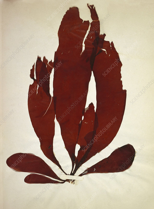 Dried red alga (Iridaea edulis)