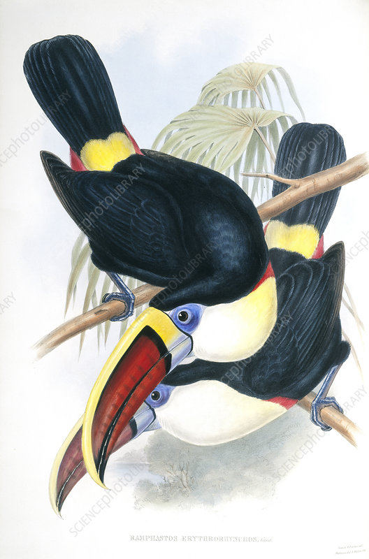 Channel-billed toucans, artwork