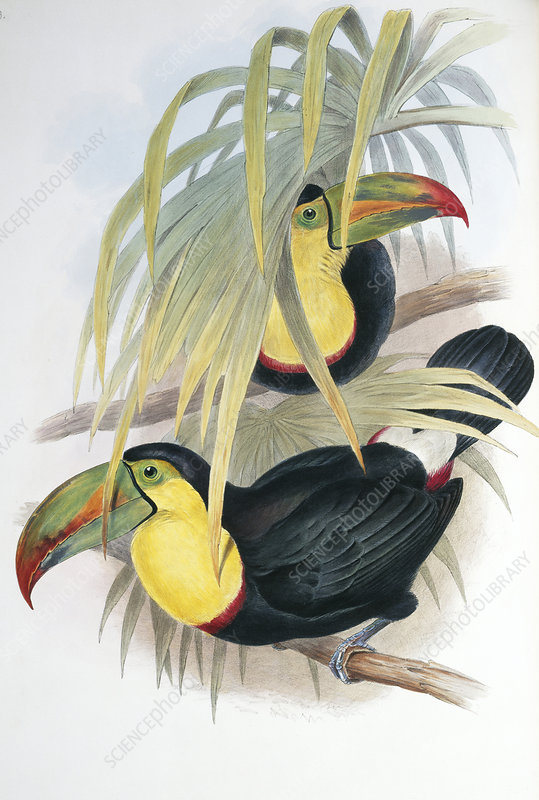 Keel-billed toucans, artwork