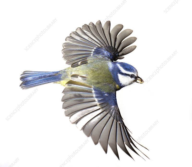 Blue tit, artwork