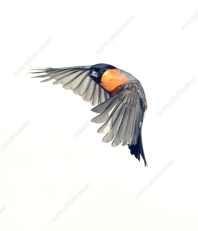 Male Eurasian bullfinch, artwork