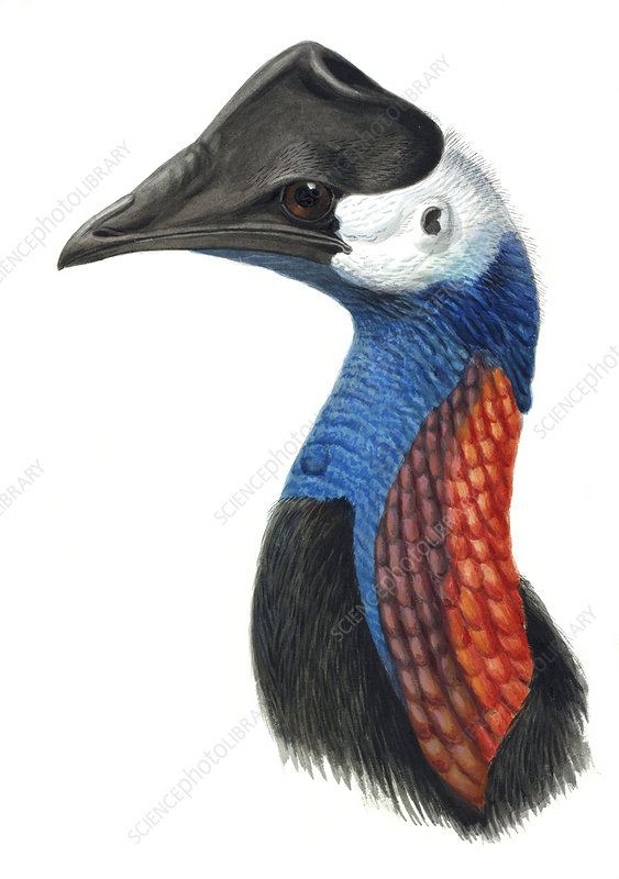 Dwarf cassowary, artwork