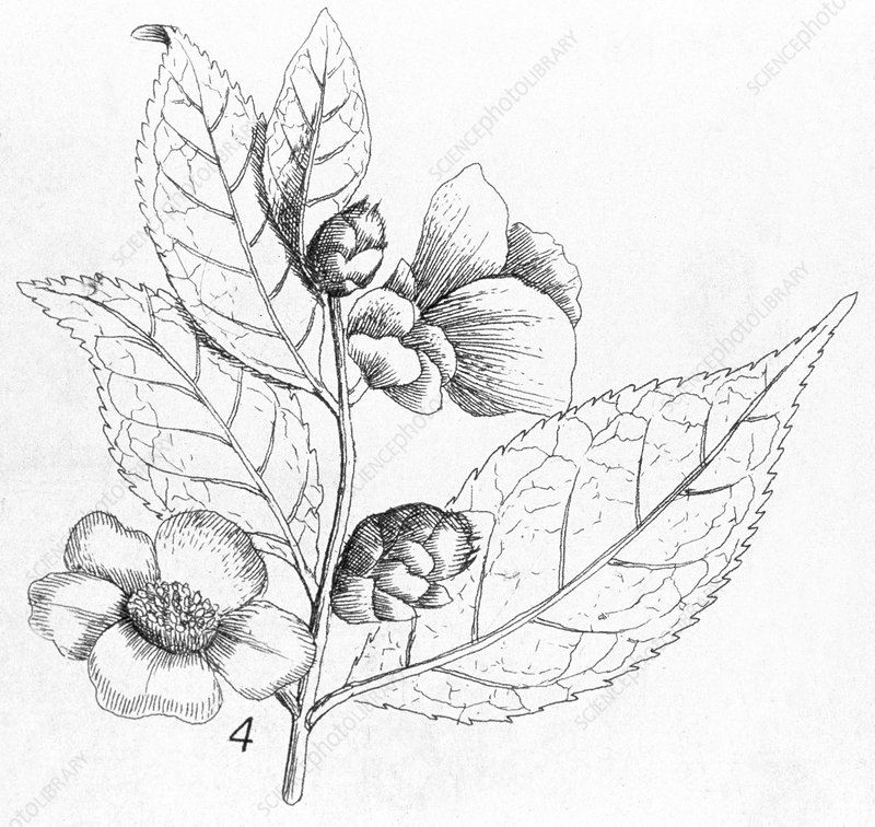Tea (Thea chinensis) plant, artwork