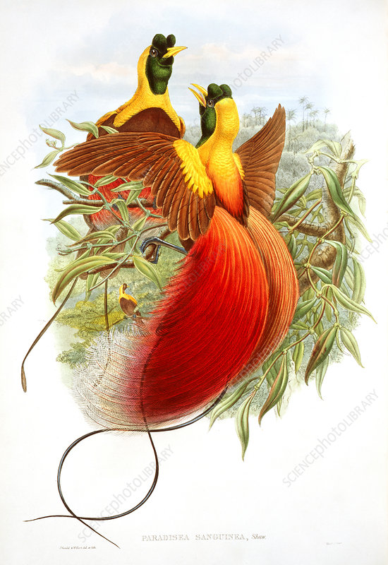 Red bird-of-paradise, artwork